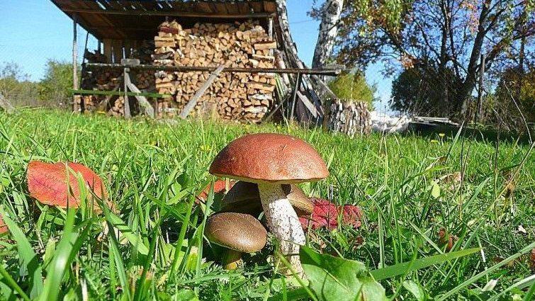 «Как вырастить грибы на садовом участке?» фото - bs gribi doma virachivanie 1 e1506687701681 755x425