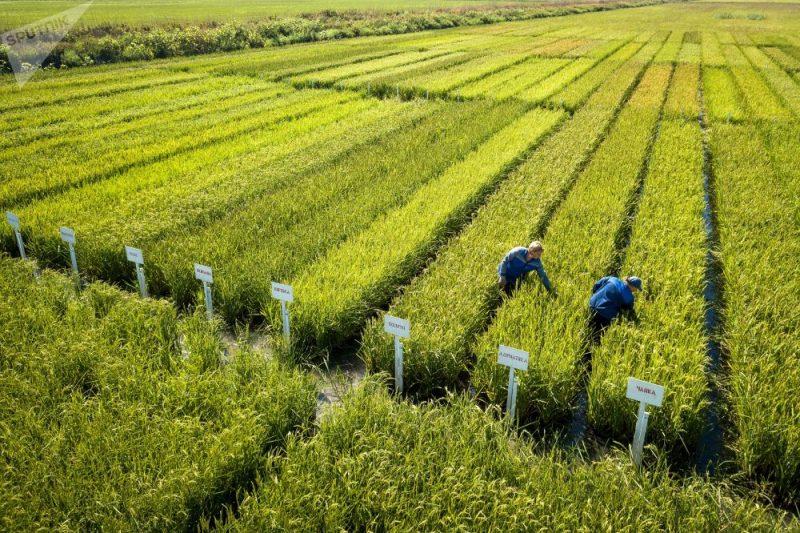 «Как растет рис?» фото - 1037133979 800x533