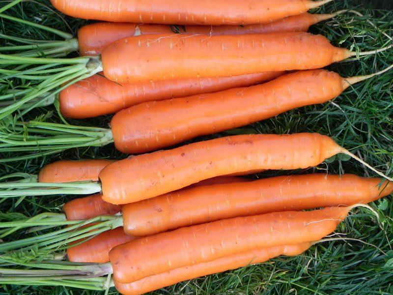 «Когда сажать морковь семенами в открытый грунт?» фото - 1502w 10 800x600