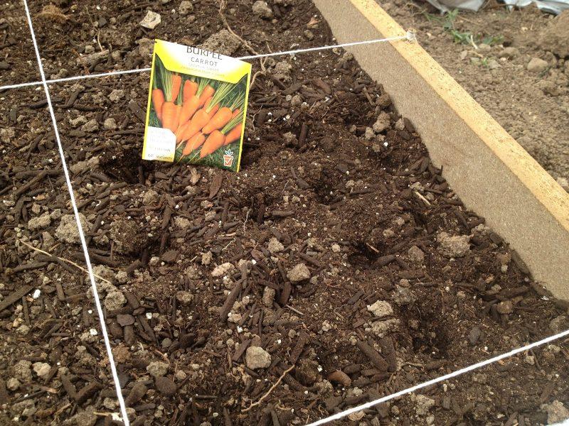 «Когда сажать морковь семенами в открытый грунт?» фото - IMG 0088 800x600
