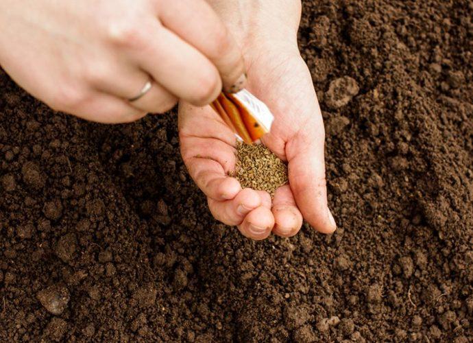«Когда сажать морковь семенами в открытый грунт?» фото - Posev 690x500
