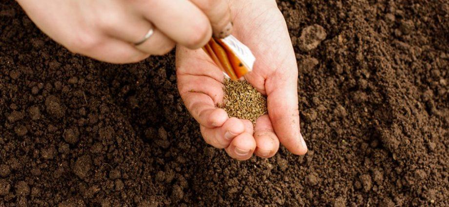 «Когда сажать морковь семенами в открытый грунт?» фото - Posev 920x425