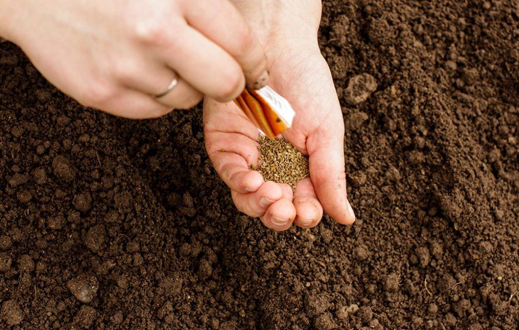 «Когда сажать морковь семенами в открытый грунт?» фото - Posev