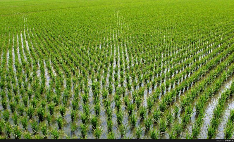 «Как растет рис?» фото - fotoya 1470224191 800x486