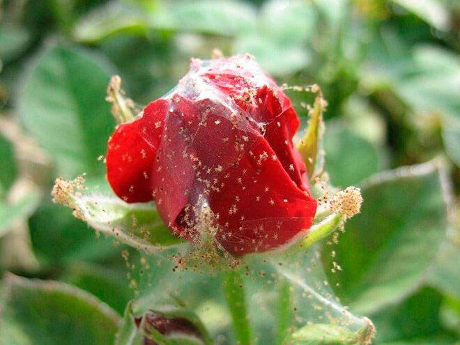 «Паутинный клещ на домашней розе» фото - klesh pautinniy na roze 1024x768