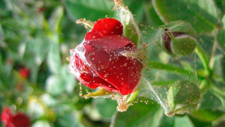 «Паутинный клещ на домашней розе» фото - pautinnyi kleschh na roze 750x425