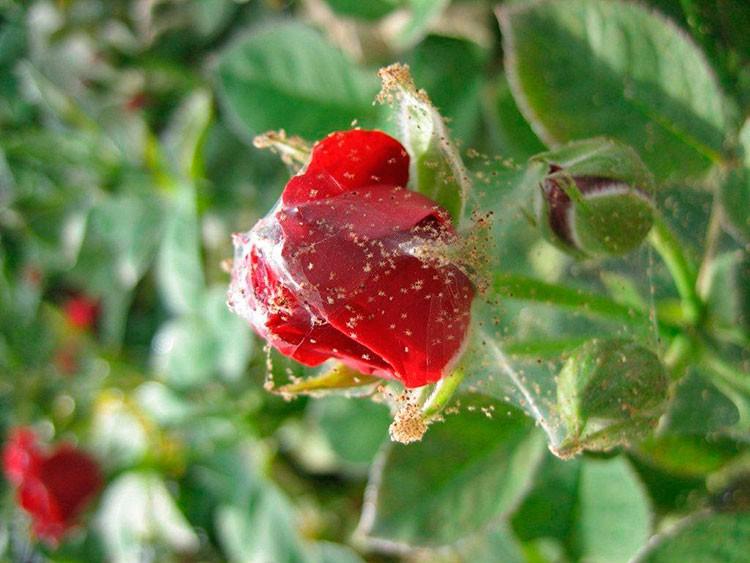 «Паутинный клещ на домашней розе» фото - pautinnyi kleschh na roze
