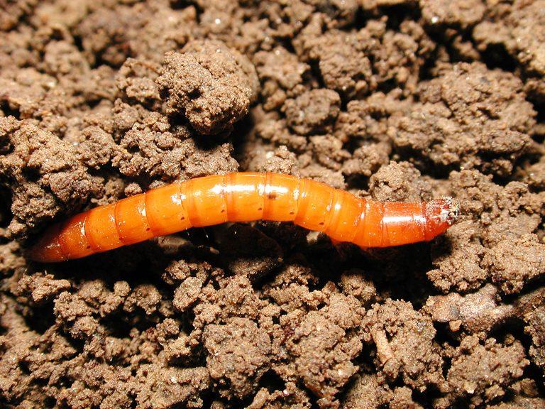 Проволочник в огороде - как бороться с вредителем