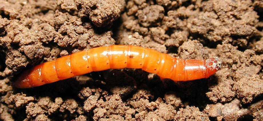 «Проволочник в огороде - как бороться с вредителем?» фото - 1 49 920x425