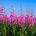 «Где растет трава Иван-чай?» фото - 4 6 120x120