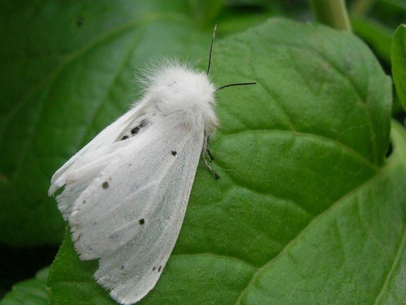 «Американская белая бабочка» фото - 8601 gal 1535972752 1 800x602