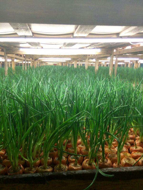 «Выращивание лука на перо» фото - IMG 1096 max 1000 600x800