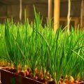 «Посадка лука севка - уход и выращивание» фото - Vygonka pera iz luka v teplitse 120x120