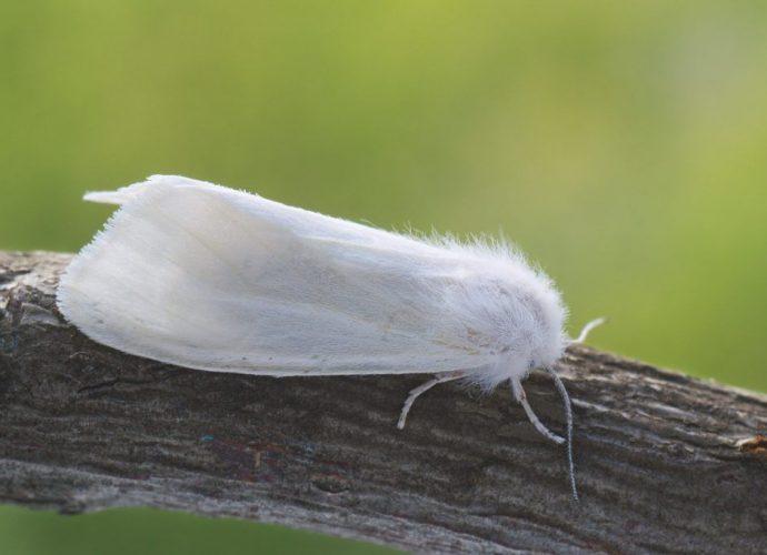 «Американская белая бабочка» фото - dfed0e3bde22eaca7ece4ec7421328b4 690x500