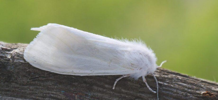 «Американская белая бабочка» фото - dfed0e3bde22eaca7ece4ec7421328b4 920x425