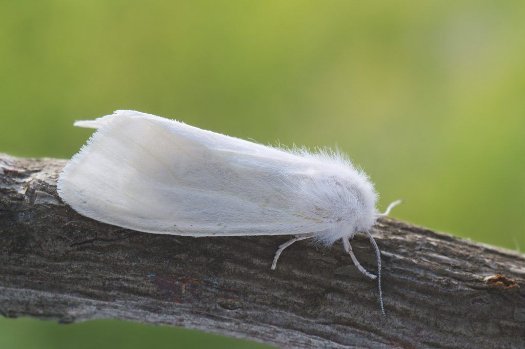 «Американская белая бабочка» фото - dfed0e3bde22eaca7ece4ec7421328b4