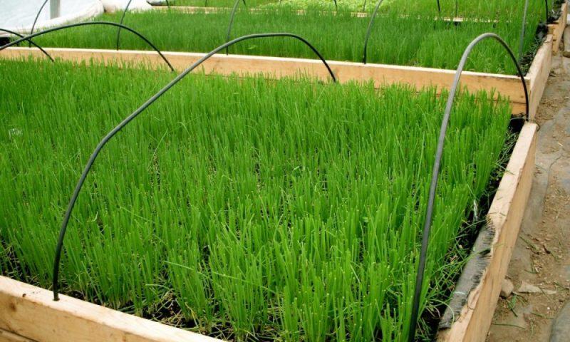 «Выращивание лука на перо» фото - druzhnye vesennie vshody ozimogo luka vyraschivaem 800x480