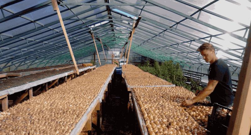«Выращивание лука на перо» фото - luk 5 800x432