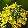 «Нужно ли перекапывать горчицу посеянную осенью?» фото - mustard flower 3001688 1280 120x120
