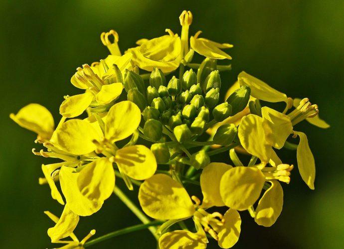 «Нужно ли перекапывать горчицу посеянную осенью?» фото - mustard flower 3001688 1280 690x500