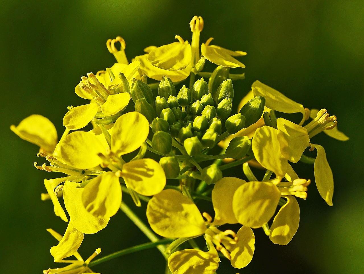 «Нужно ли перекапывать горчицу посеянную осенью?» фото - mustard flower 3001688 1280