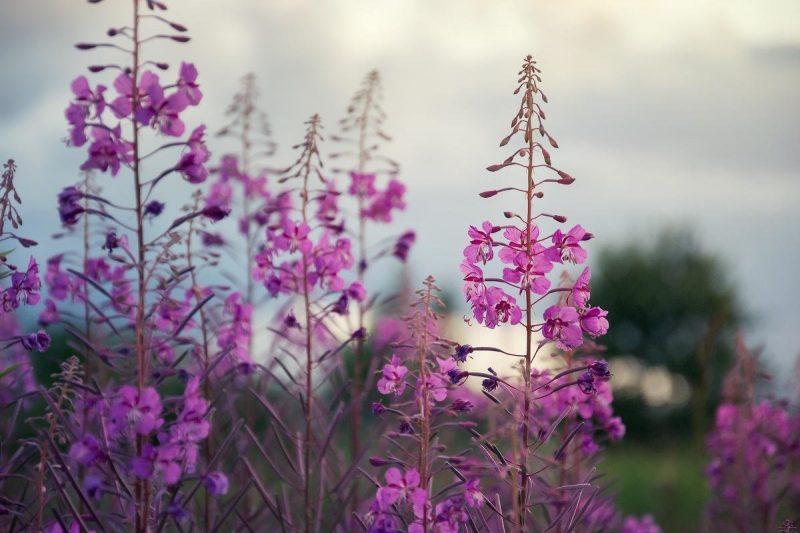 «Иван-чай - выращивание и полезные свойства» фото - s1200 5 800x533