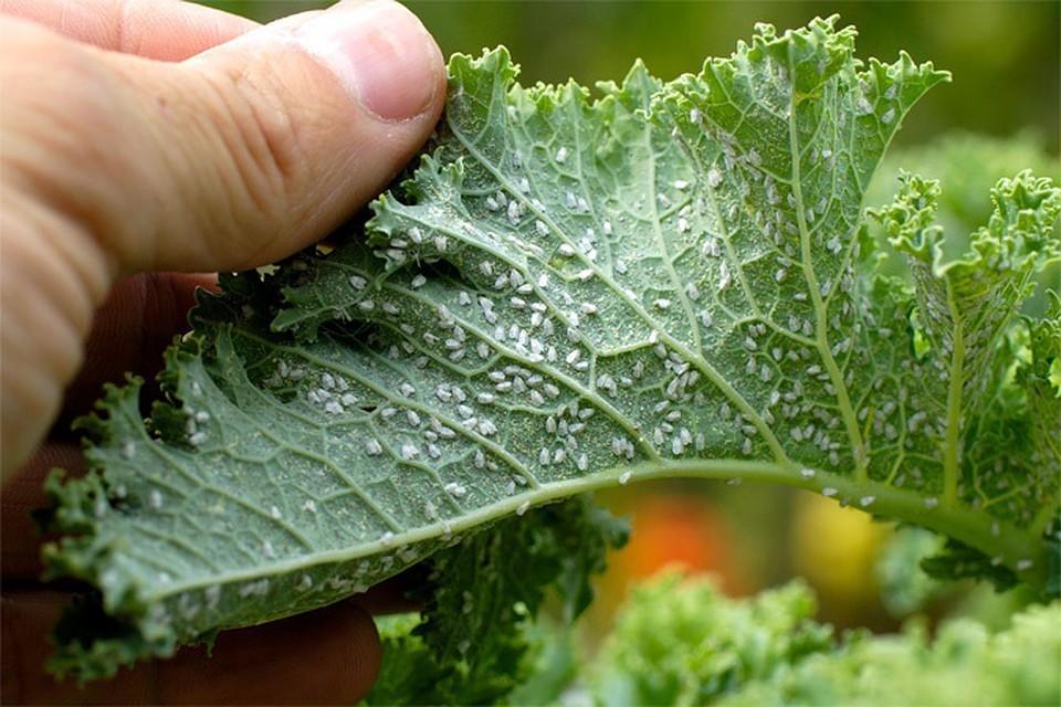 «Обзор лучших препаратов от тли» фото - tlja na pomidorah1