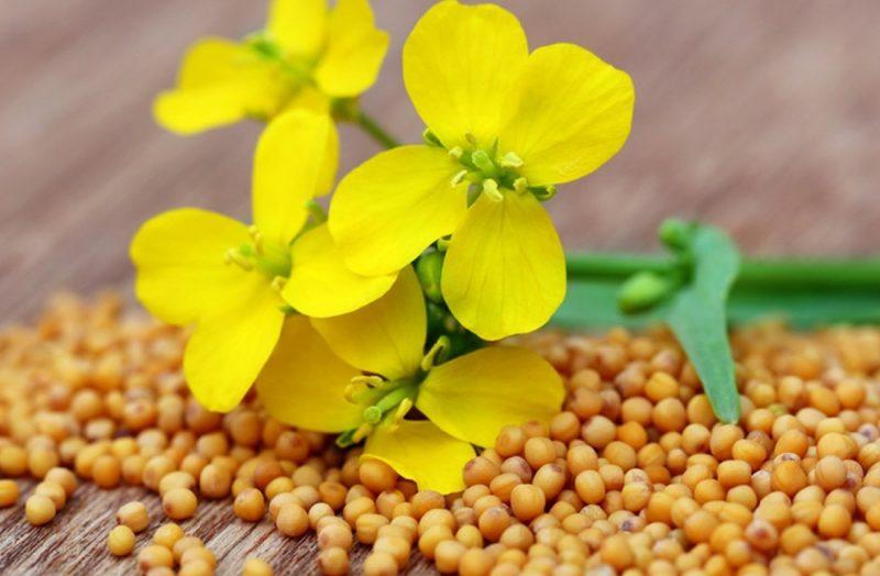 «Нужно ли перекапывать горчицу посеянную осенью?» фото - ukraina okazalas v top 5 mirovyh proizvoditeley gorchicy 800x524