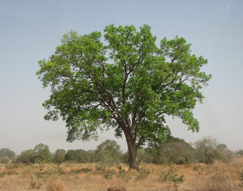 «Лучшие древесные породы для внутренней отделки бани» фото - Picture affrican mahagony2 800x629