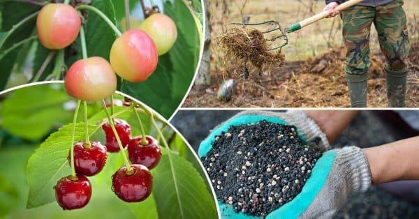 «Вишня: выращивание в саду, виды и сорта» фото - images cms image 000057921 1 600x314 1