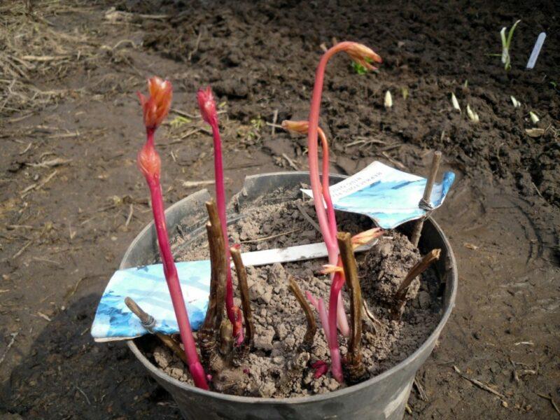 «Все хитрости выращивания пионов из семян» фото - posadka pionov vesnoj 1024x768 1 800x600