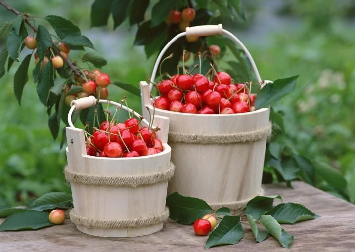 «Вишня: выращивание в саду, виды и сорта» фото - vyrashchivanie vishni v sadu 2