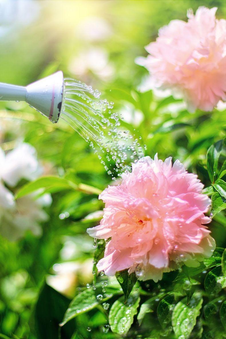 «Все хитрости выращивания пионов из семян» фото - watering 2389941 1280